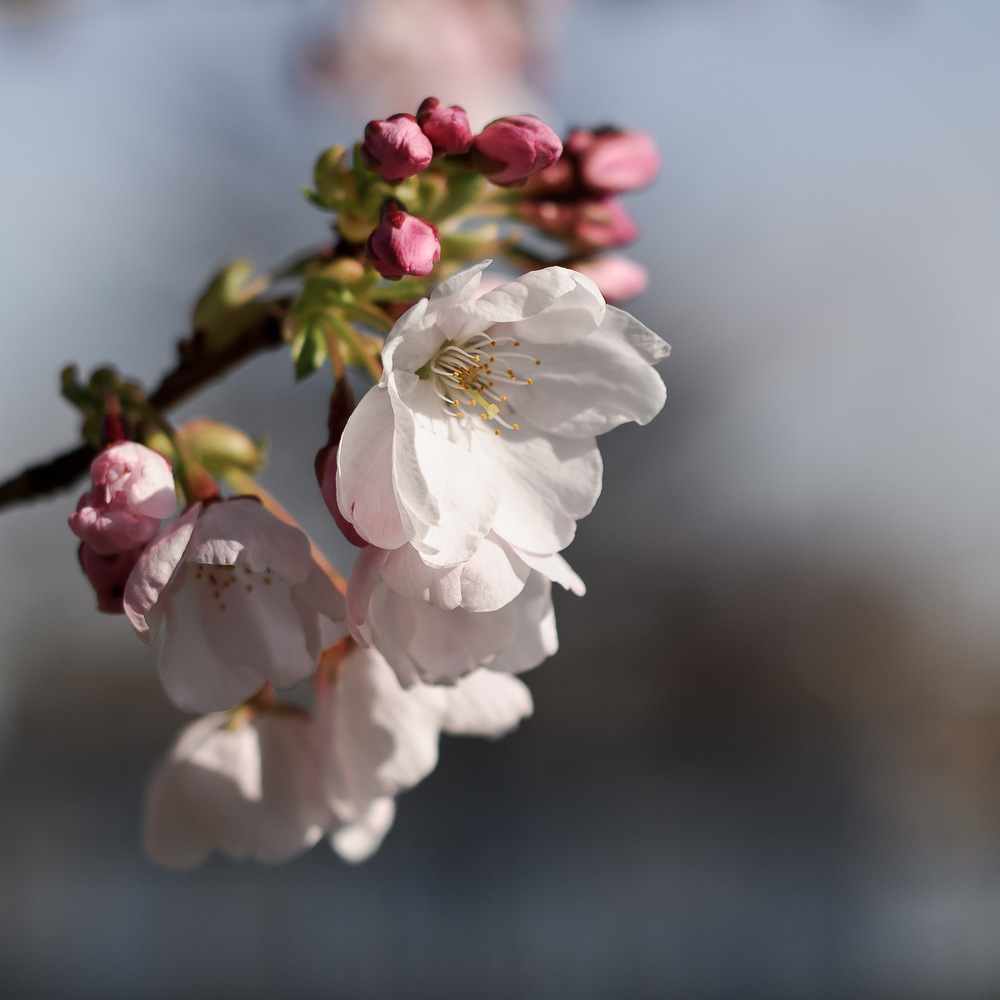 The soft pink blossoms of Prunus x yedoensis 'Akebono' (Daybreak Yoshino Cherry), March 23, 2014