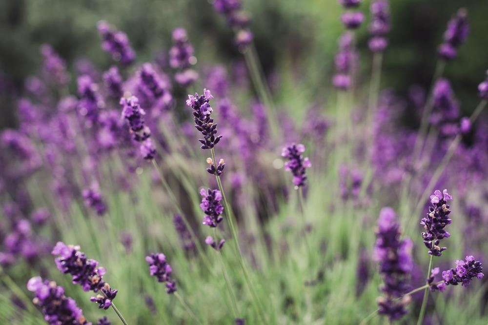 20140628-Lavender-2164