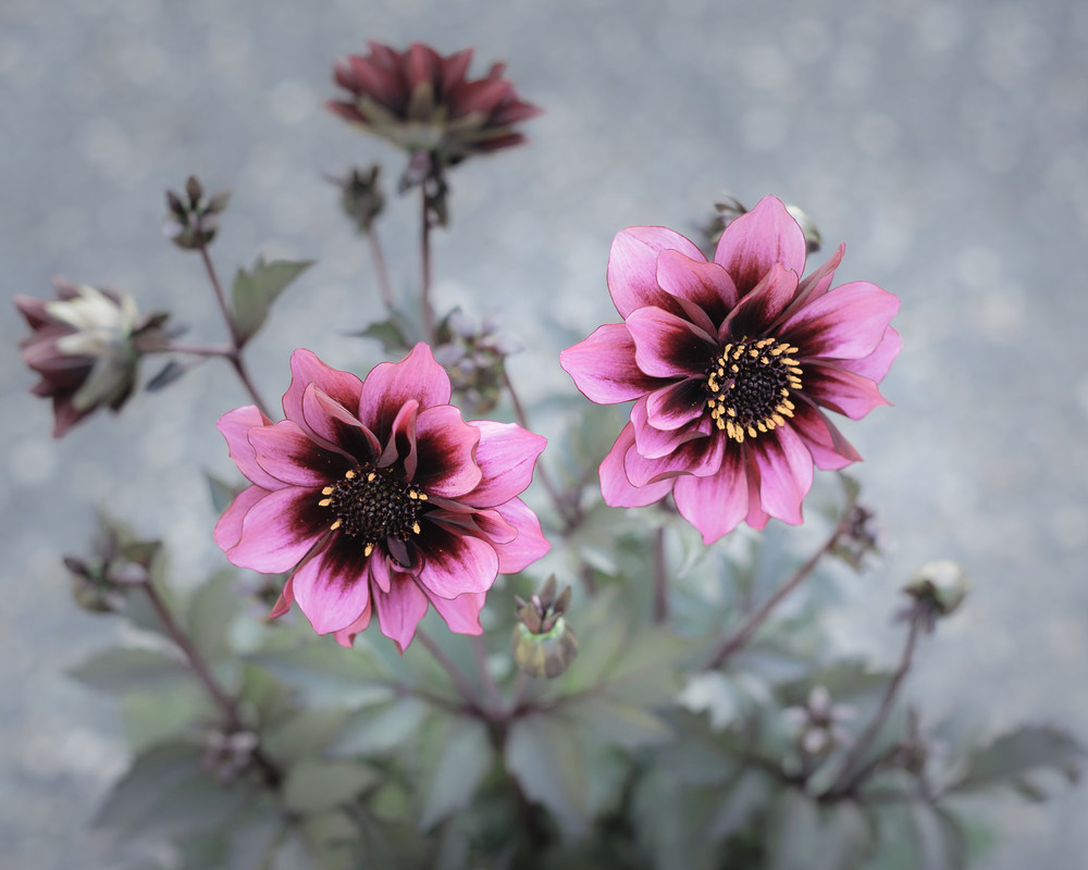 20140621-Dahlia 'Dreamy Nights'-01