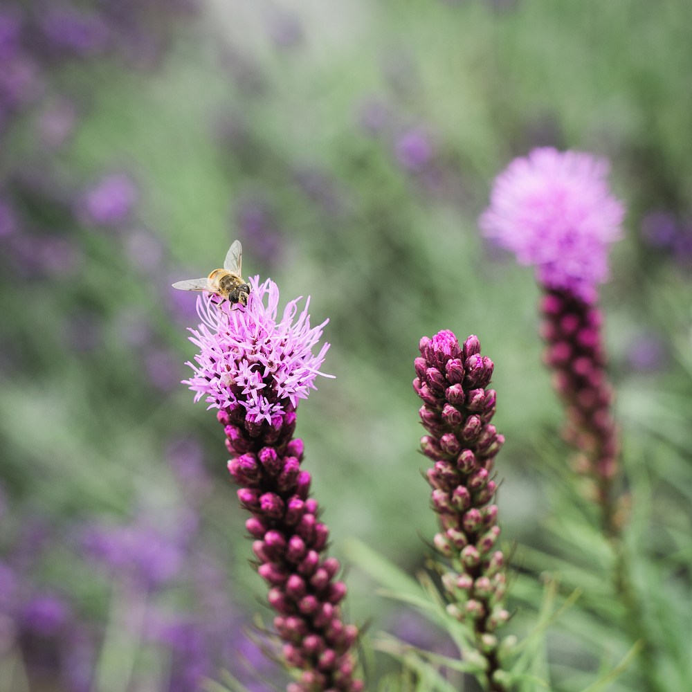 20140705-Bee on Liatris-2319