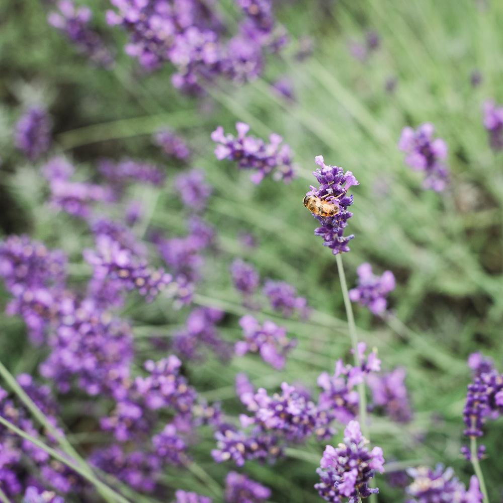20140705-bee_lavender-2324