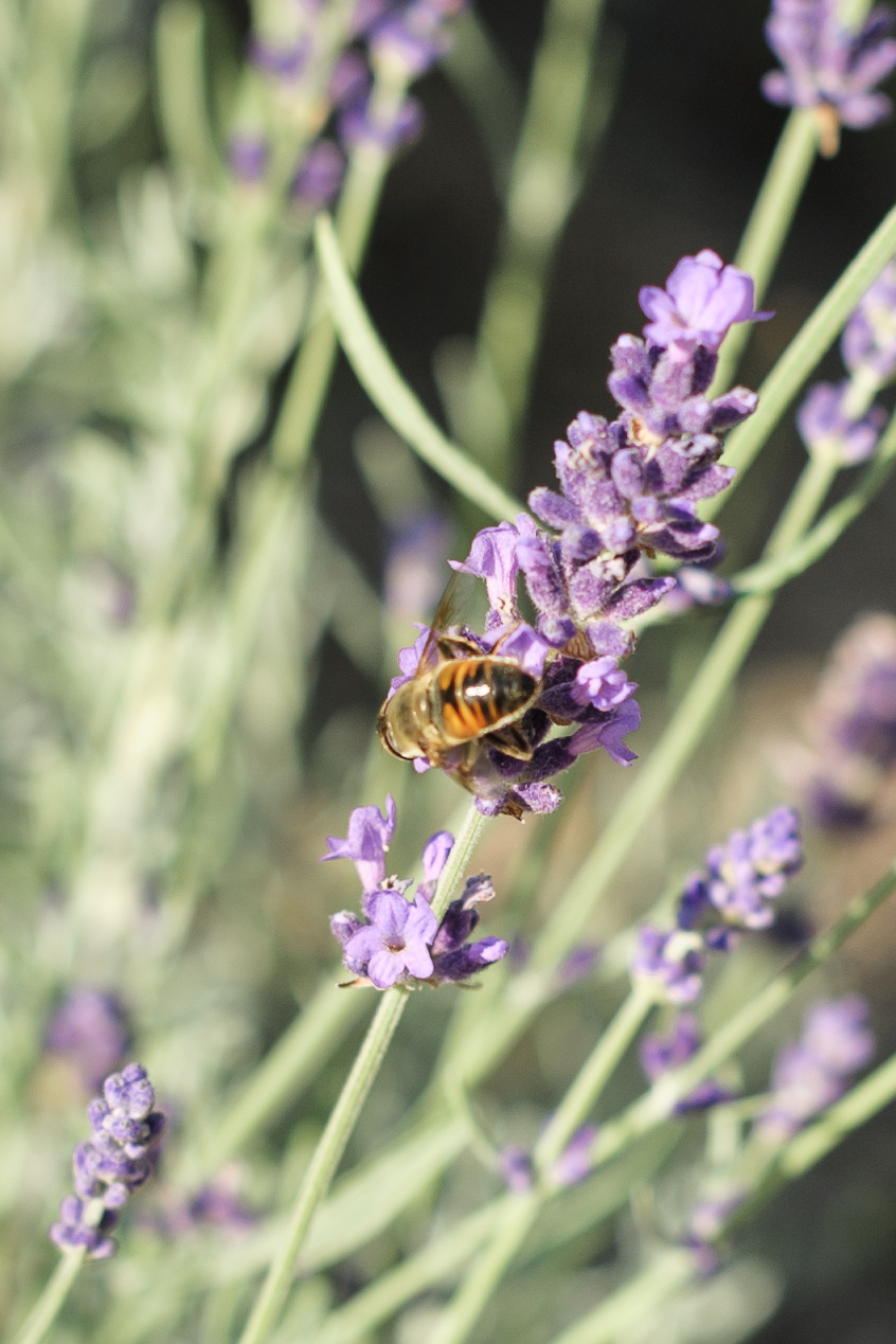 Bee gathering nectar from 'Hidcote' lavender blossoms in my mom's pollinator-friendly front garden, August 2, 2014