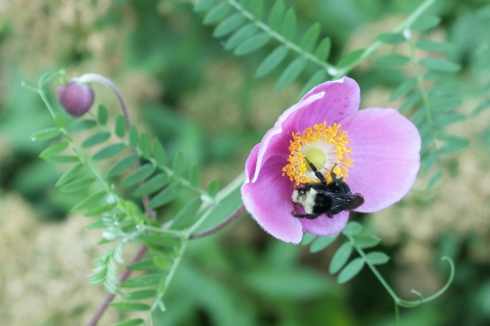 20140820-Bee on Anemone-1279