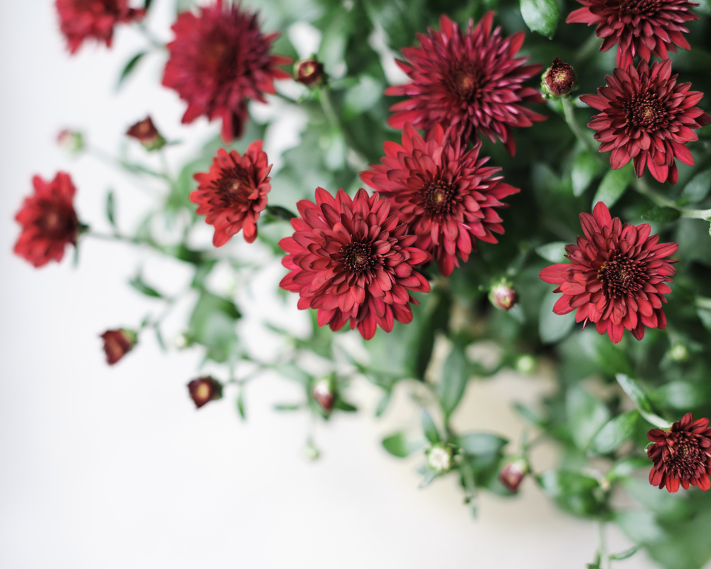 'Five Alarm Red' potted chrysanthemum