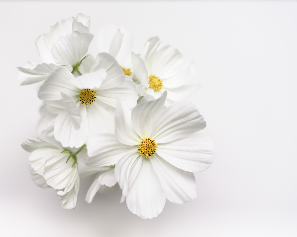 A vase of 'Snow Sonata' Cosmos