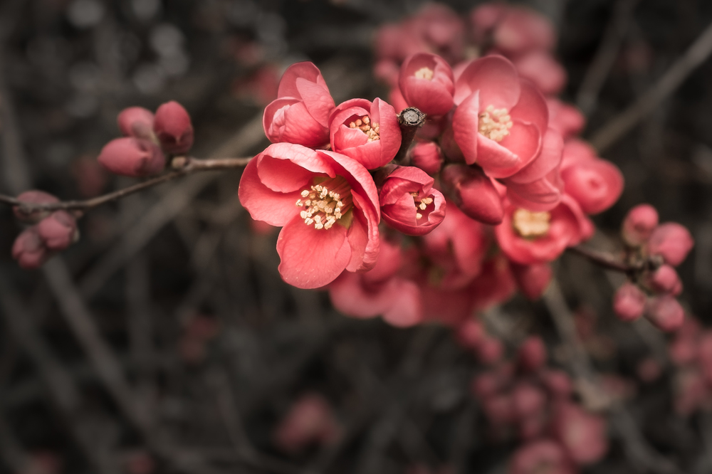 Early blossoms of Chaenomeles speciosa (Flowering Quince) on a sunny afternoon, March 3, 2015.