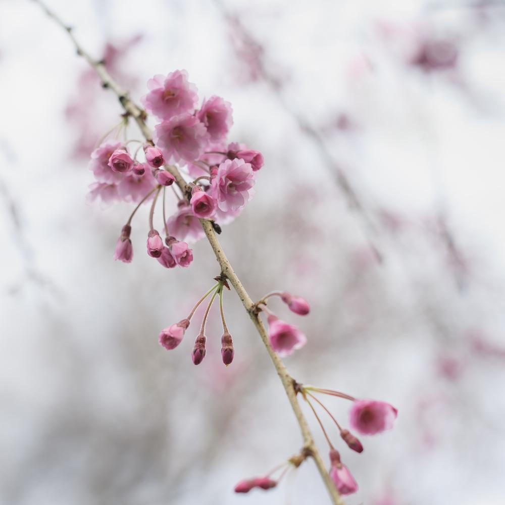 20150317-'Yae-beni-shidare'-3397.jpg