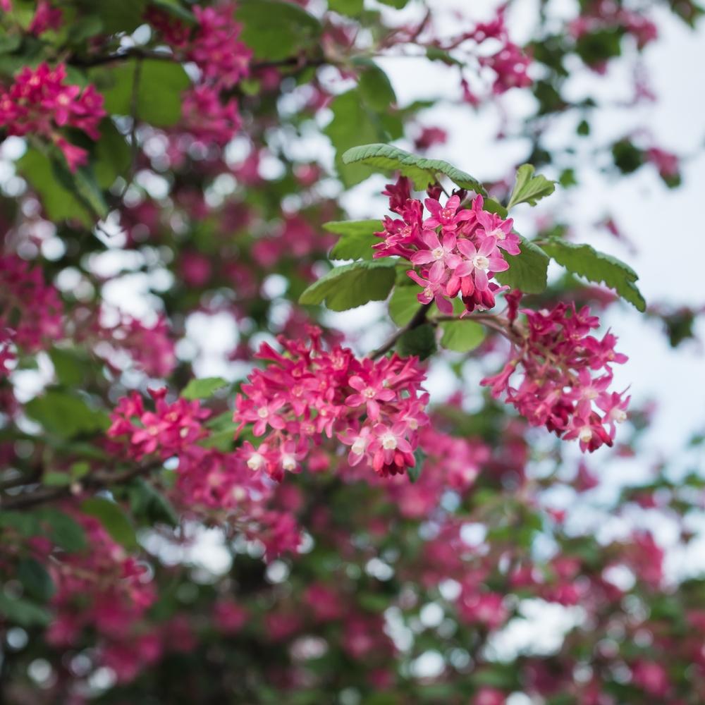 Ribes sanguineum, March 26, 2015