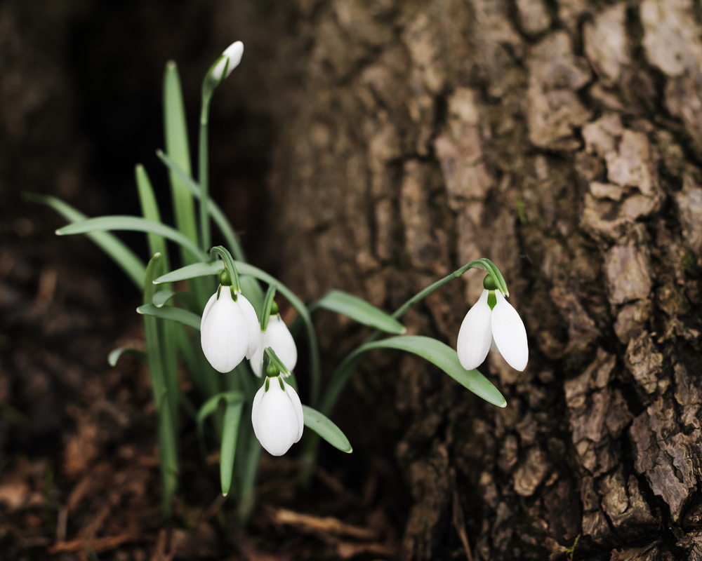 Galanthus nivalis (common snowdrop) under the trees