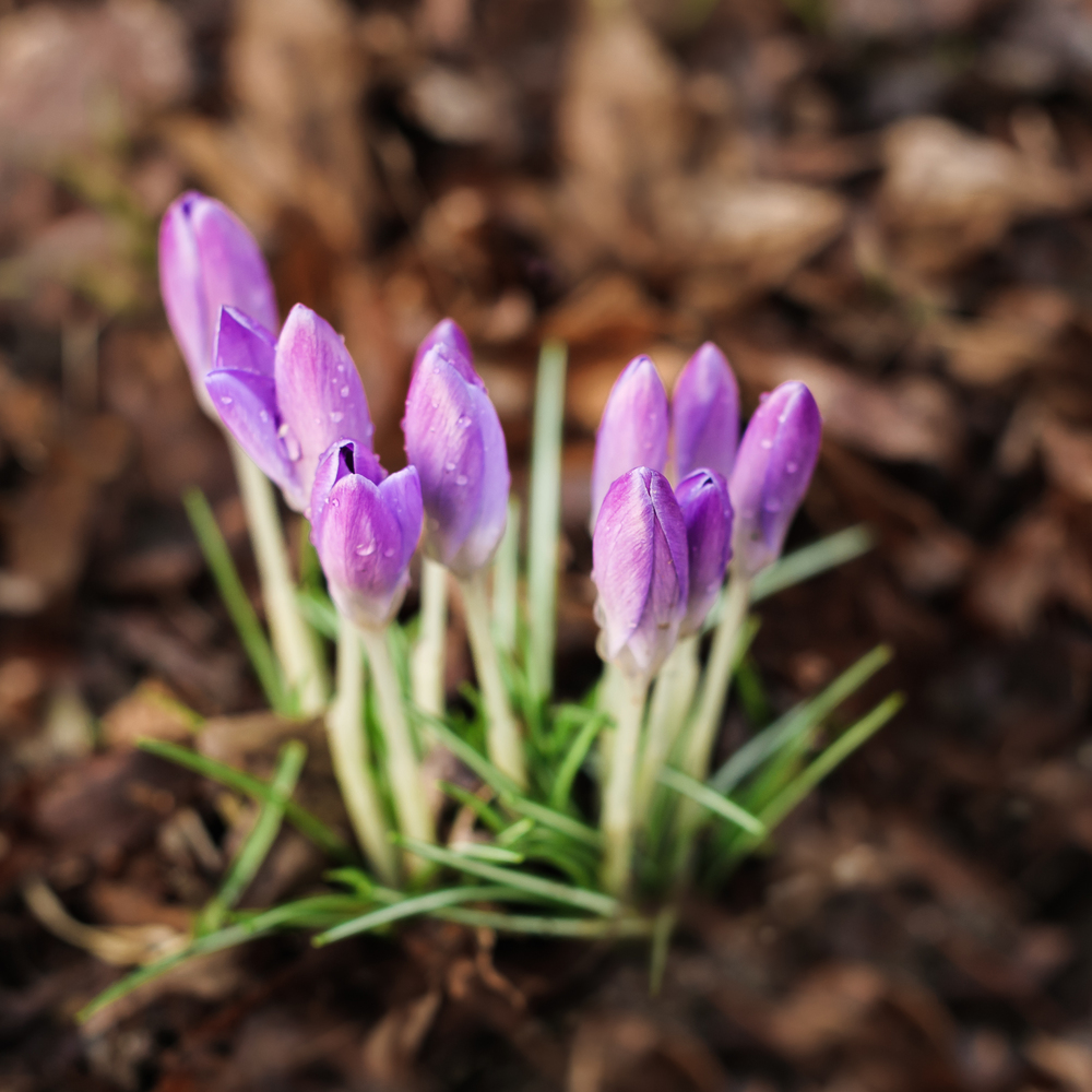 Raindrops and sunshine on crocuses -- one of my favourite pre-spring floral displays