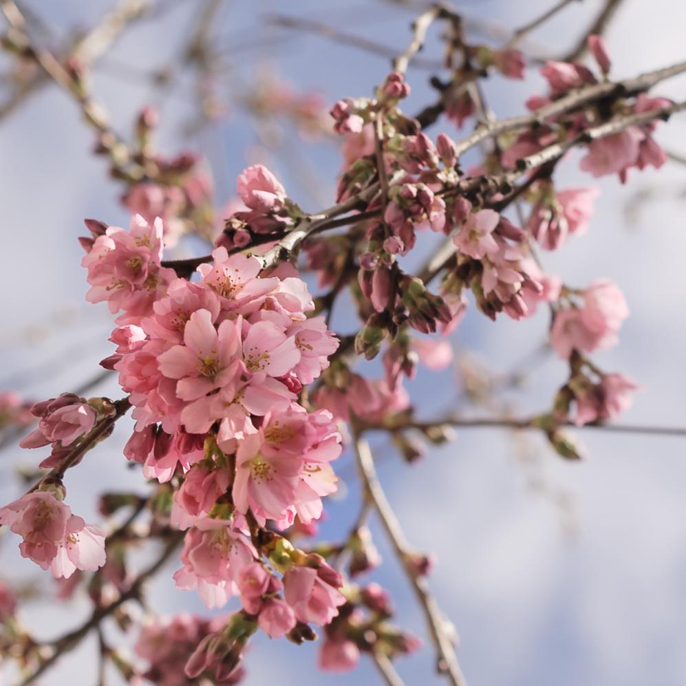 Prunus x subhirtella 'Whitcomb',16 February 2016