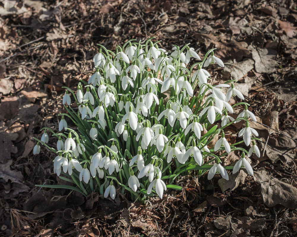 Snowdrops (Galanthus nivalis) at Queen Elizabeth Park, 12 February 2017