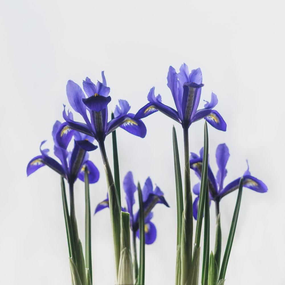 Iris reticulata, 04 March 2017