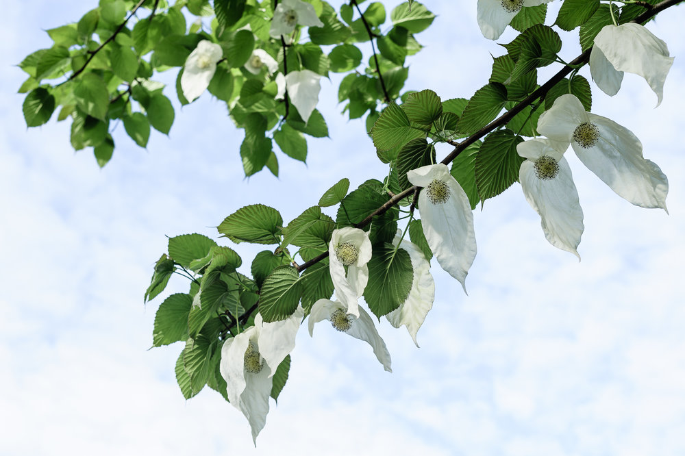 Davidia involucrata  (handkerchief tree), Queen Elizabeth Park, 18 May 2017