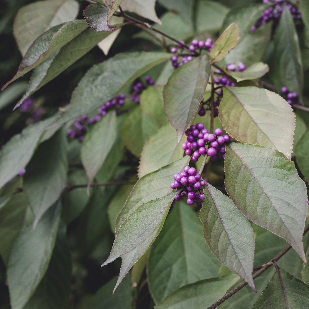 Callicarpa bodinieri var. giraldii 'Profusion' (beautyberry)