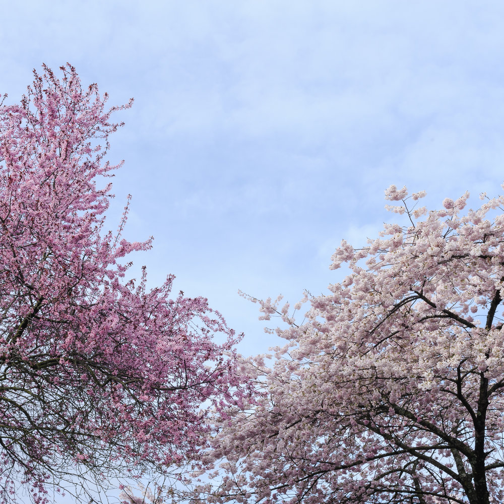 Flowering plum and cherry trees