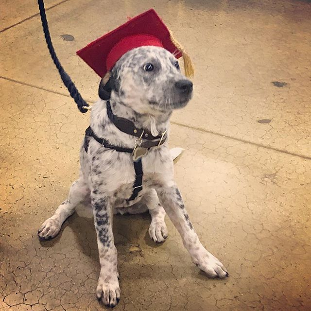 Our little Bo graduated from puppy school today. #australiancattledog #puppiesofinstagram @mdstockbridge