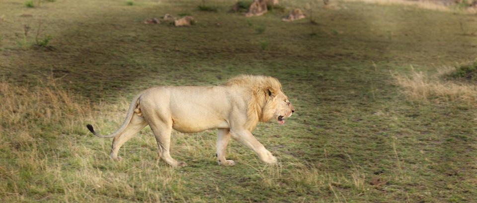 bonev_lion.jpg