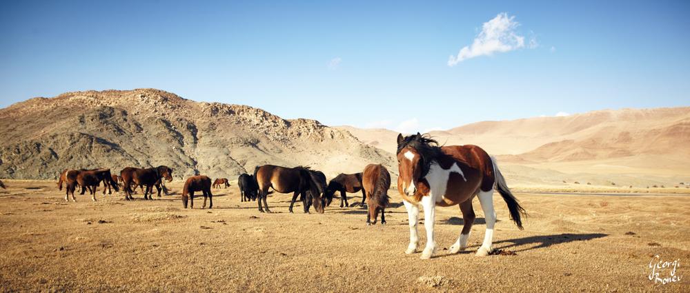 KAZAKH HORSES, ALTAI MOUNTAIN, MONGOLIA