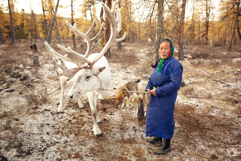 TSAATAN WOMAN IS PREPARING HER RAINDEER, MONGOLIA