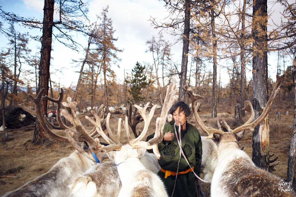 TSAATAN ELDER GETTING READY TO MOVE HIS REINDEER TO NEW LOCATION, MONGOLIA
