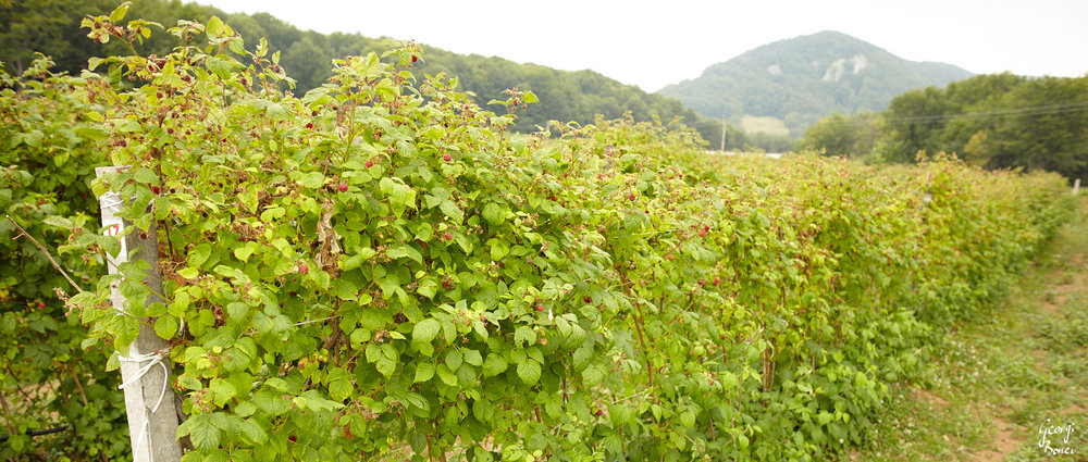 The raspberry fielf of Trastenaya, Bulgaria
