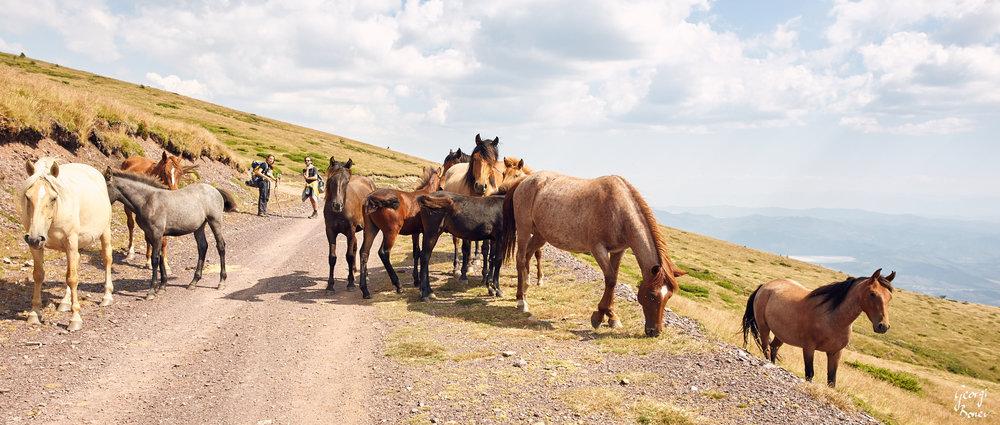 The wild horses of Mt. Stara Planina, Bulgaria