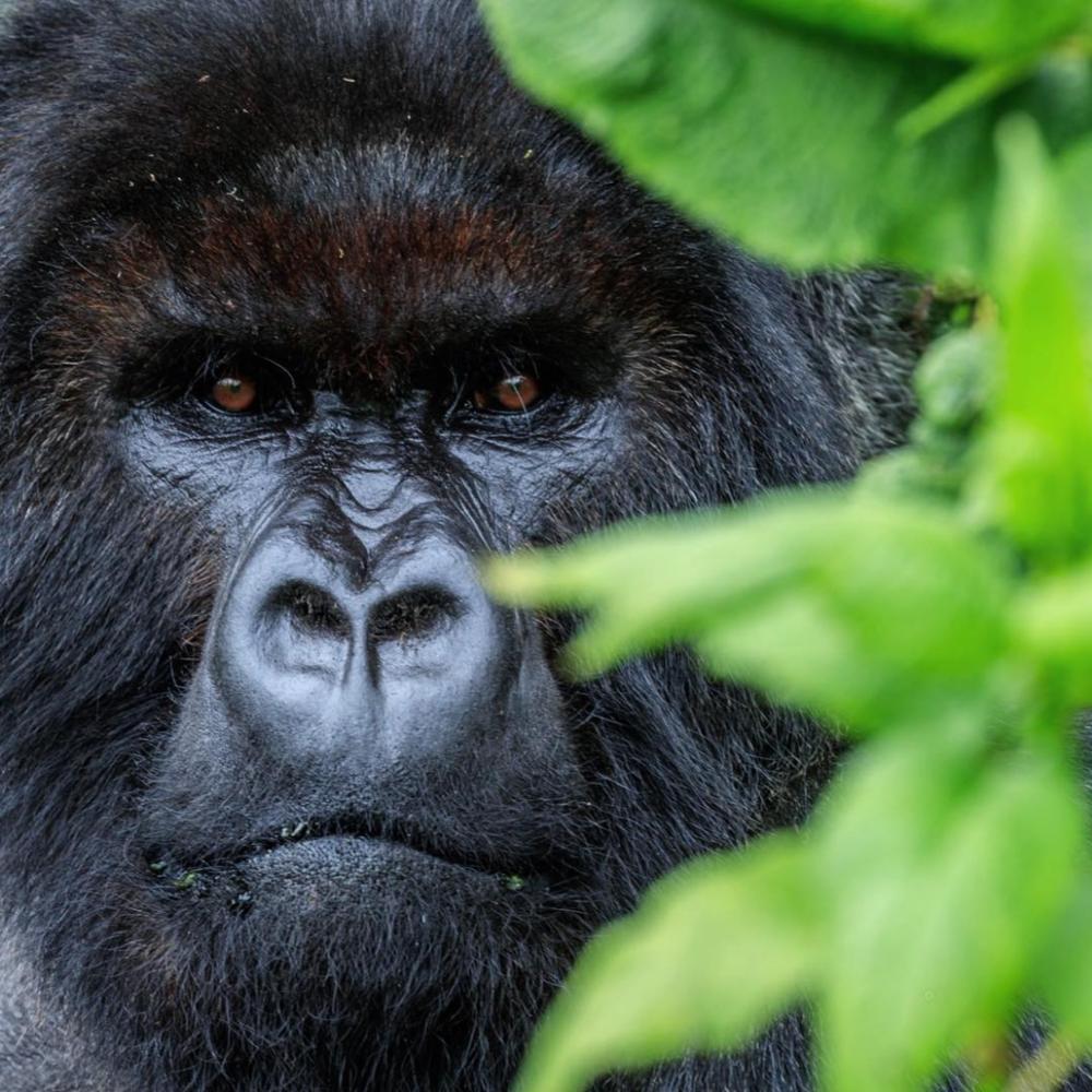 A silver-back mountain gorilla, Rowanda