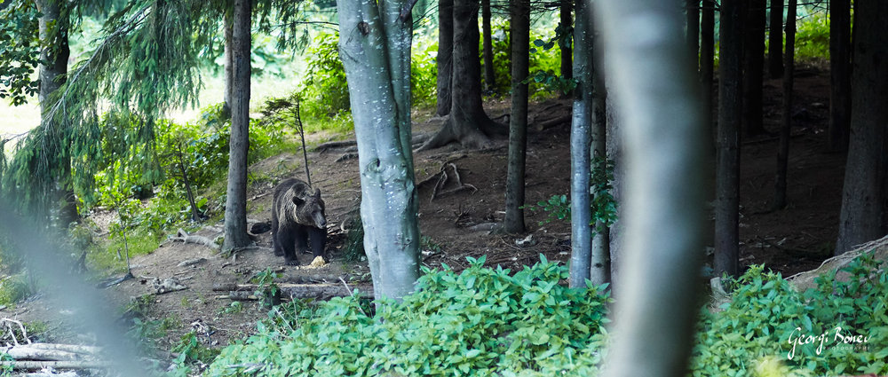 Brown Bear, Fagaras Mountain, Romania