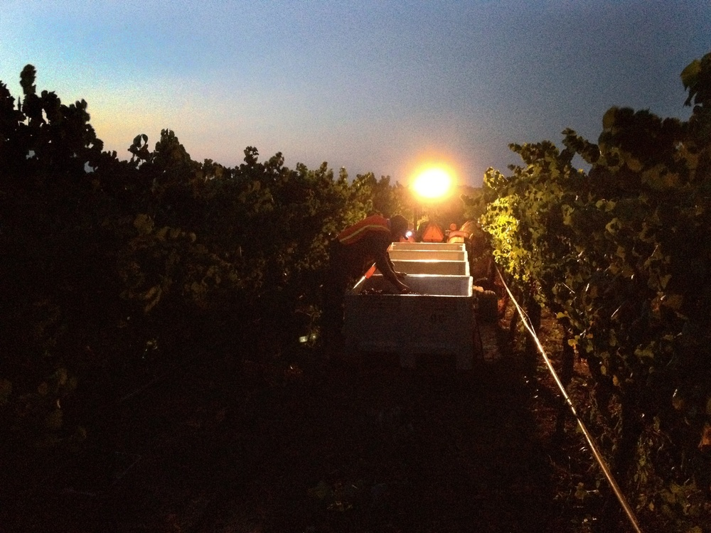 Pre-dawn picking our 2012 Stepping Stone by Cornerstone Napa Valley Pinot Gris