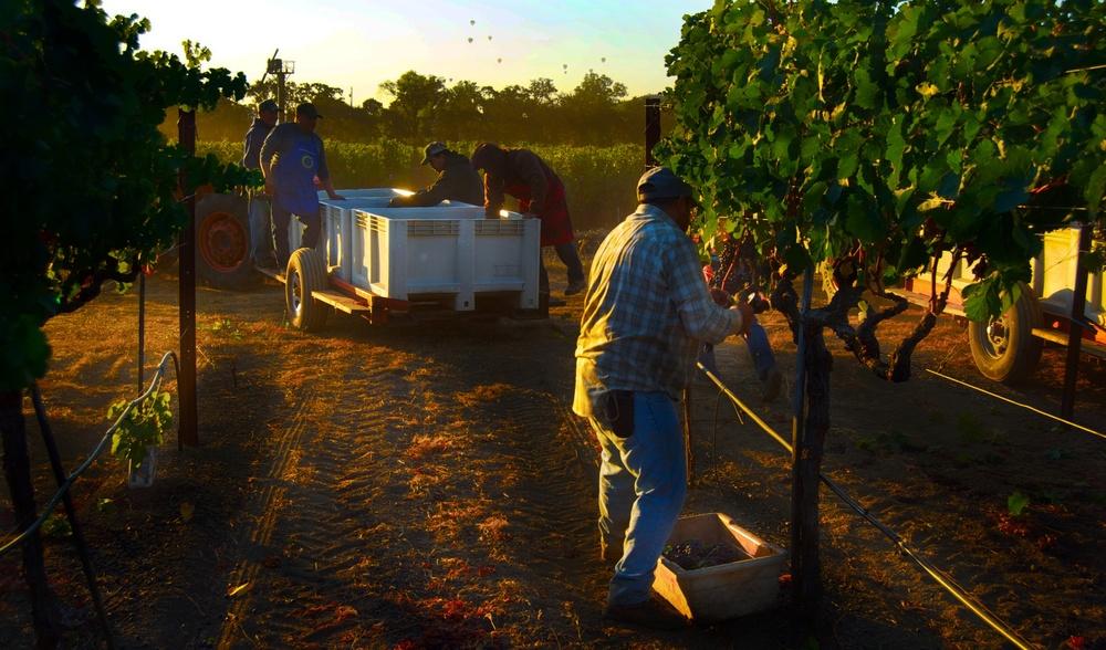 Picking merlot in the Oakville Station/To Kalon Vineyard