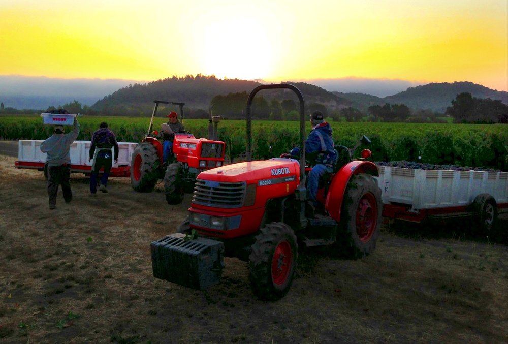The crew starts picking Oakville Station Merlot at the crack of dawn.