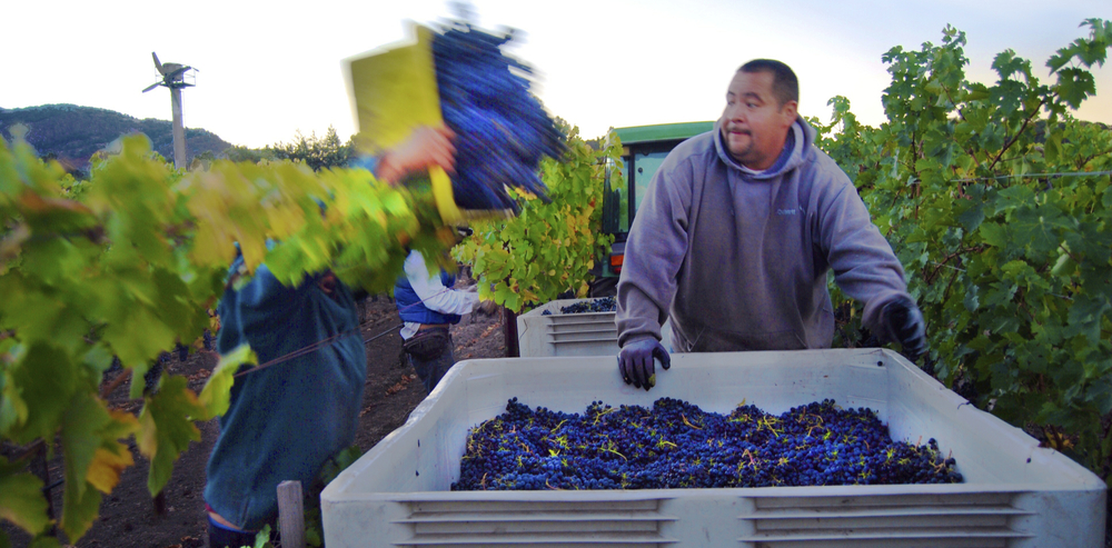 Harvesting syrah in the Yountville AVA of the Napa Valley in 2013