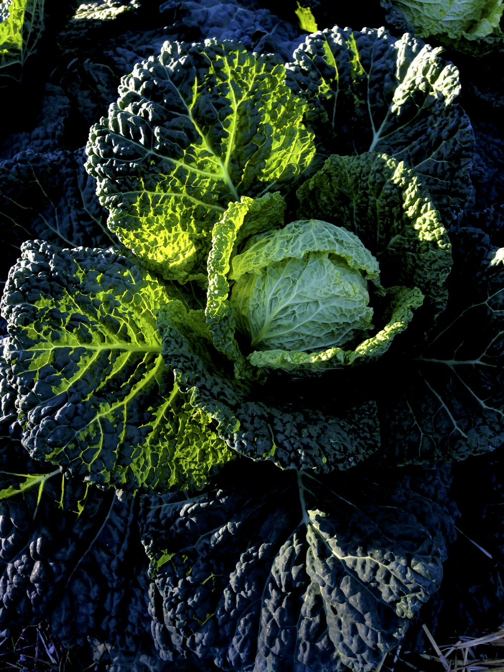 First light touches some very pampered cabbage in The French Laundry Garden in Yountville, Napa Valley