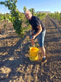 Winemaker Tony Rynders harvesting Maverick Vineyard