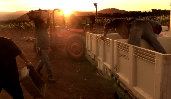 Harvesting 2015 Oakville Station Cabernet Franc at dawn