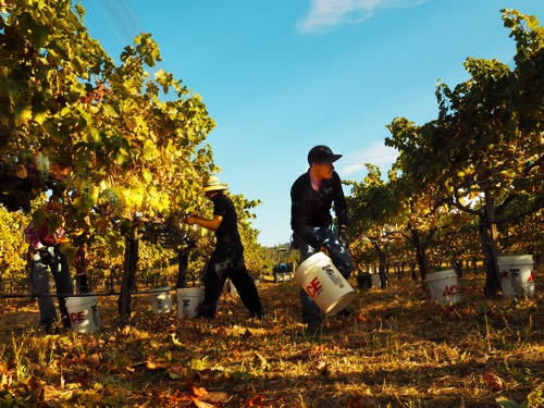 Picking Vermentino at Troon Vineyard in the Applegate Valley