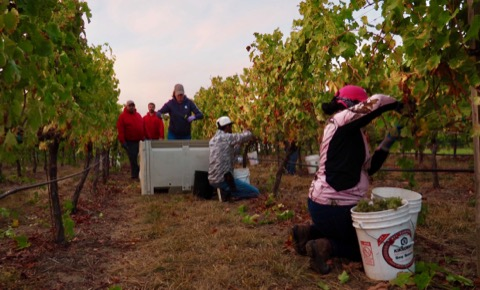 Picking viognier