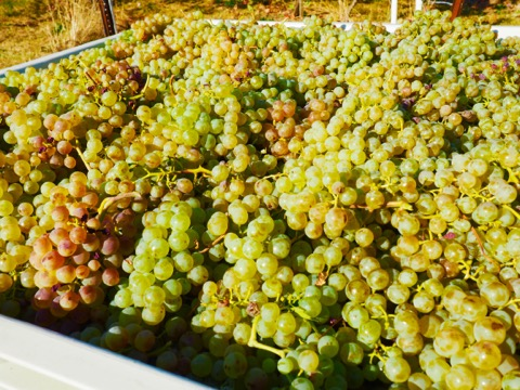 Just picked vermentino