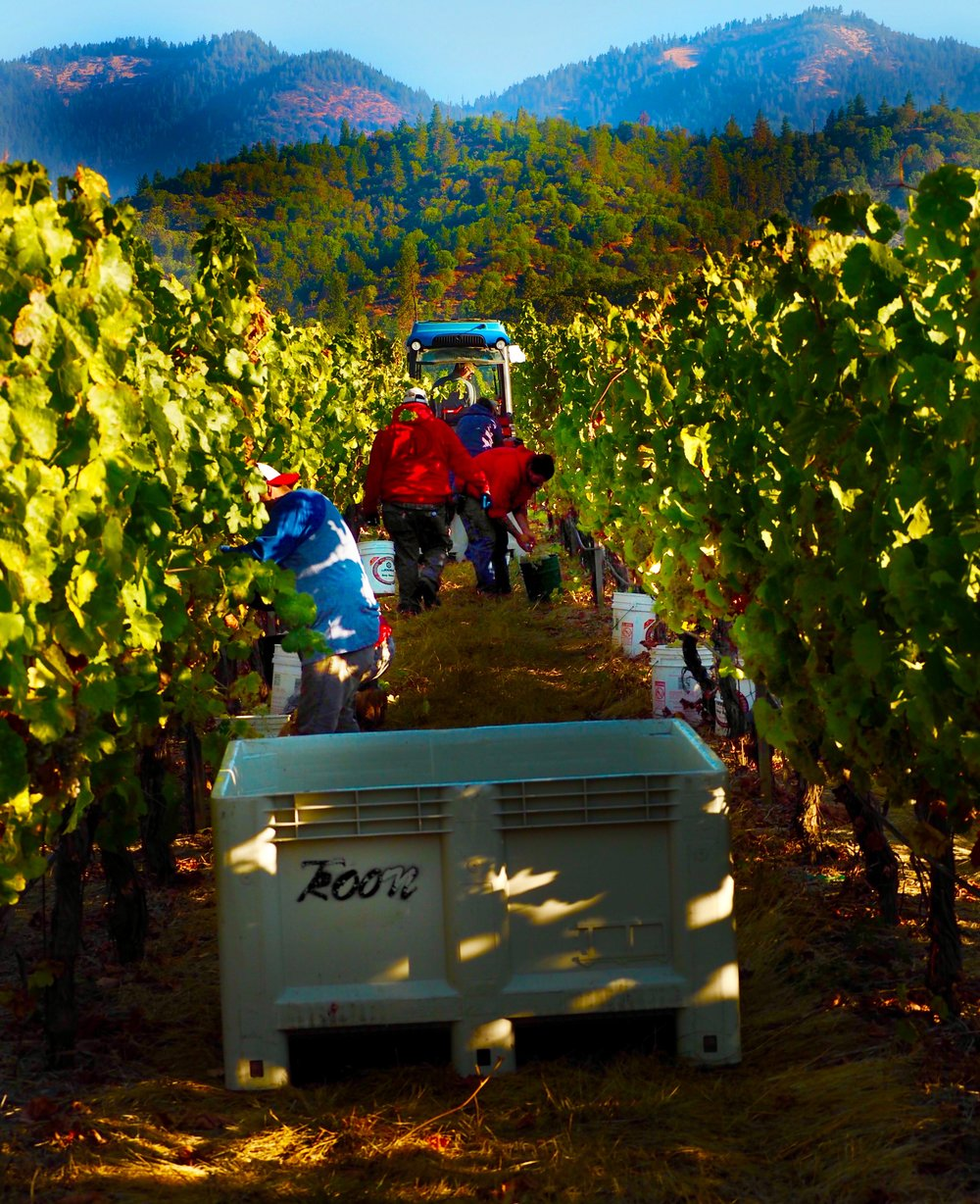 Harvesting marsanne in the Siskiyou Mountains