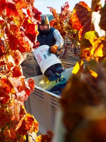 Harvesting malbec