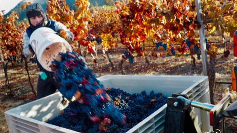 Loading malbec into the bins