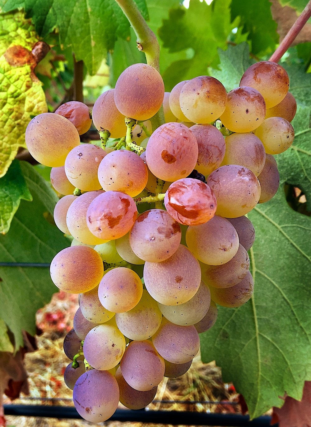 Perfectly ripe vermentino at Troon Vineyard