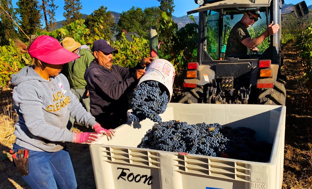 Picking tinta roriz, this is our last vintage of this variety as these vines will be pulled and replanted next year.