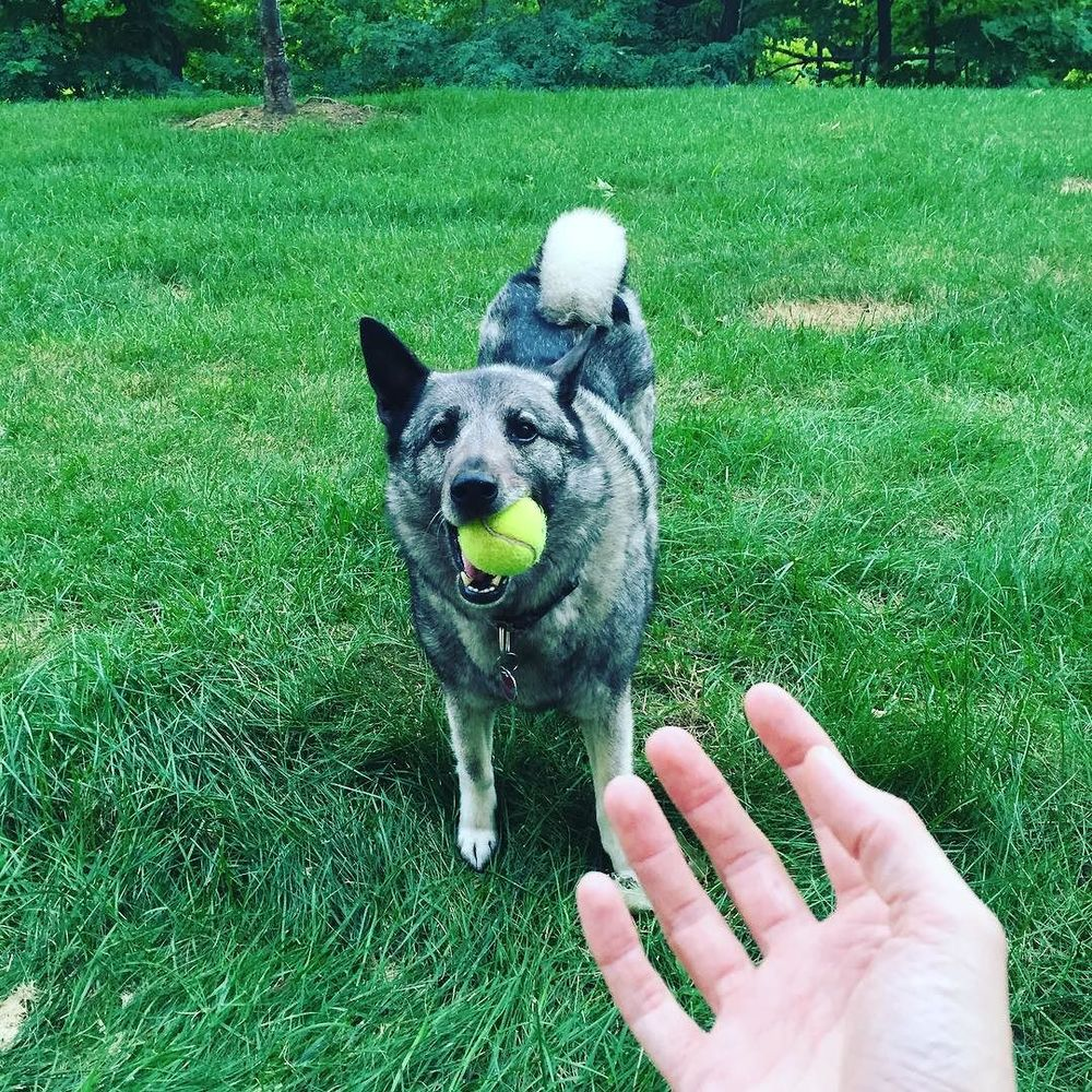 Hanging in the yard. #norwegianelkhound #dogsofinstagram #elkhound #sundayfunday  http://ift.tt/2a4jPVX