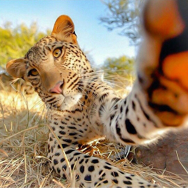 Epic Selfie 🐯  Photo via 🌟🌟🌟@Insta_Animall🌟🌟  Tag who you'd go on a Safari with!  Photo by ©Jean Joaquim Crassous  • by bestvacations  http://ift.tt/1L5TQYh