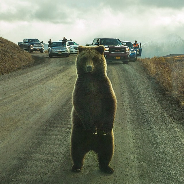 Photo by @argonautphoto (Aaron Huey) on assignment in #DenaliNationalPark.  This is a stare-down that I did NOT win. #Grizzly by natgeo  http://ift.tt/1u8GHl7