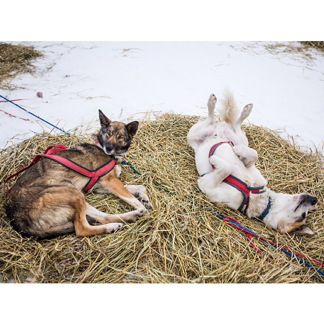 After more than a week of challenging and fast conditions, Dallas Seavey won the 2014 Iditarod in a dramatic finish. Plenty more rest on the way for the hardworking dogs. Some of Cim Smyth's team (pictured here) showing off their favorite spots! @alaskadispatch Photo: Loren Holmes   OutsideOnline.com by outsidemagazine  http://ift.tt/1lXQ72p