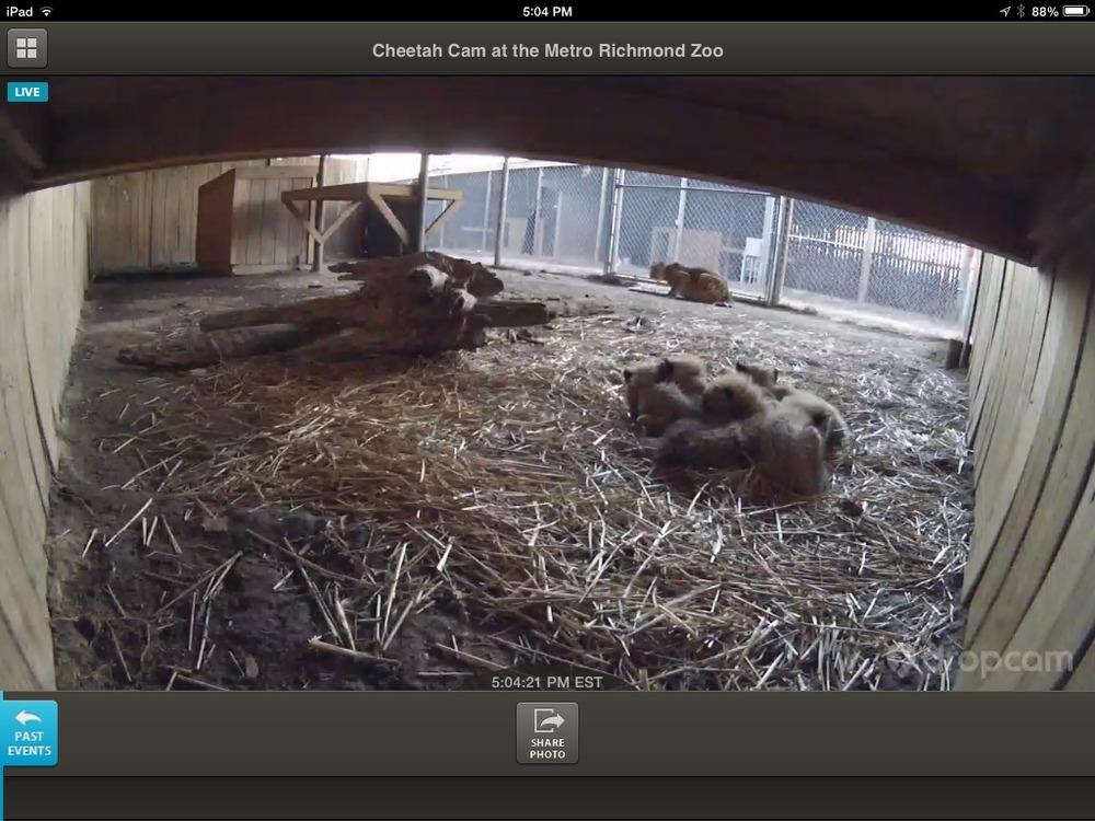 Look at these guys! Five cheetah cubs on DropCam