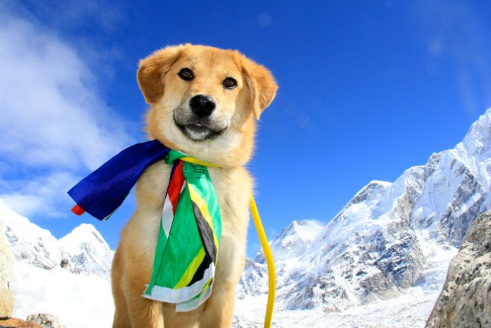 timemagazine :      A former stray dog has pulled himself up by the bootstraps and created a better life for himself. A life that includes becoming the first dog ever to climb Mount Everest.    Read more  here.      (Photo credit: Caters News Agency)